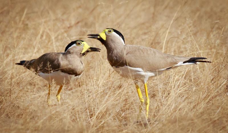 Yellow-wattled Lapwings, Yala