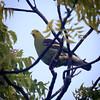 Sri Lanka Green Pigeon, Ulagalla