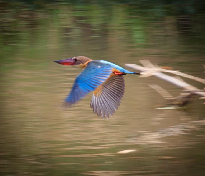 Stork-billed Kingfisher in flight, Minneriya