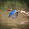 Stork-billed Kingfisher in flight, Minneriya