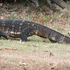 Water Monitor, Ulagalla