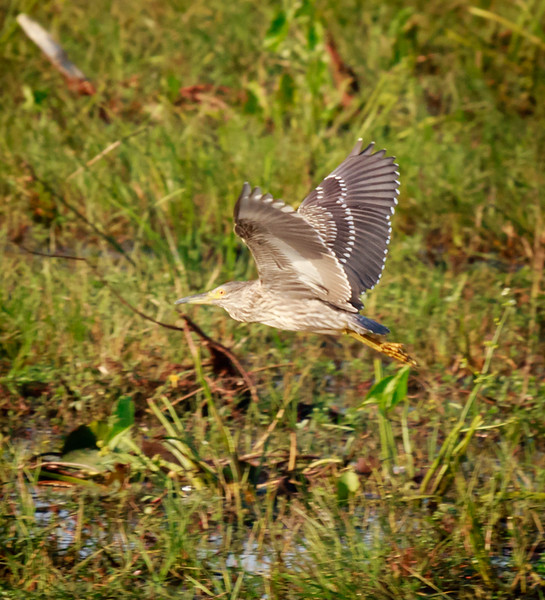 Immature Night Heron in flight, Yala