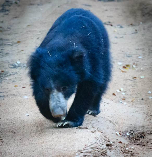 Sloth Bear, Yala