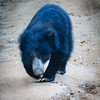 Sloth Bear, Yala
