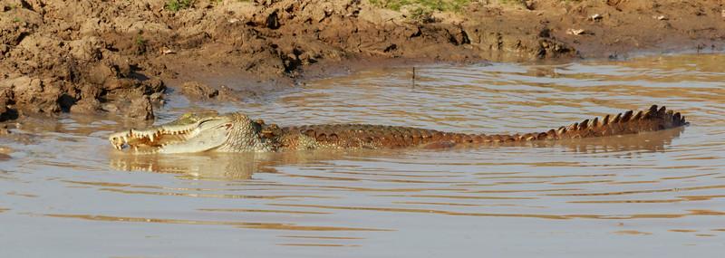 Mugger Crocodile, Yala