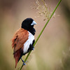 Black-headed Munia, Horton Plains