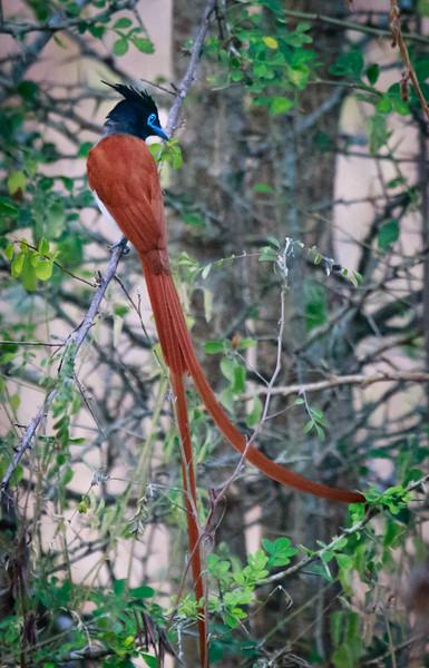 Asian Paradise Flycatcher (male), Yala