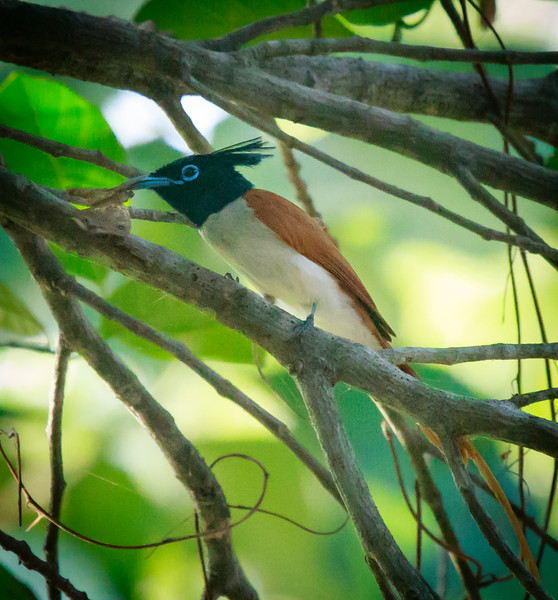 Asian Paradise Flycatcher with Moth, Ulagalla