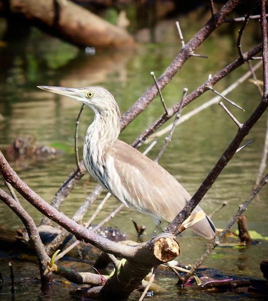 Indian Pond Heron, Wacwella River