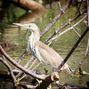 Indian Pond Heron, Wacwella River