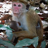 Toque Macaque and baby