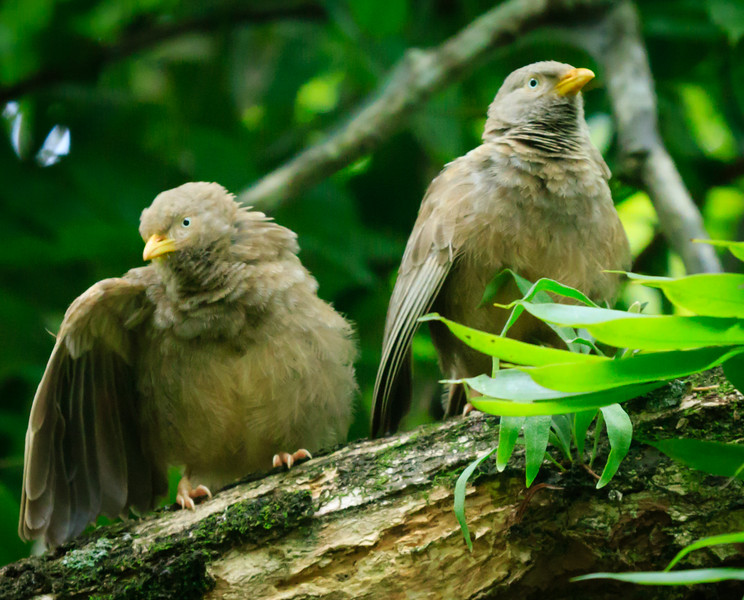 Yellow-billed Babblers, Royal Botanic Gardens