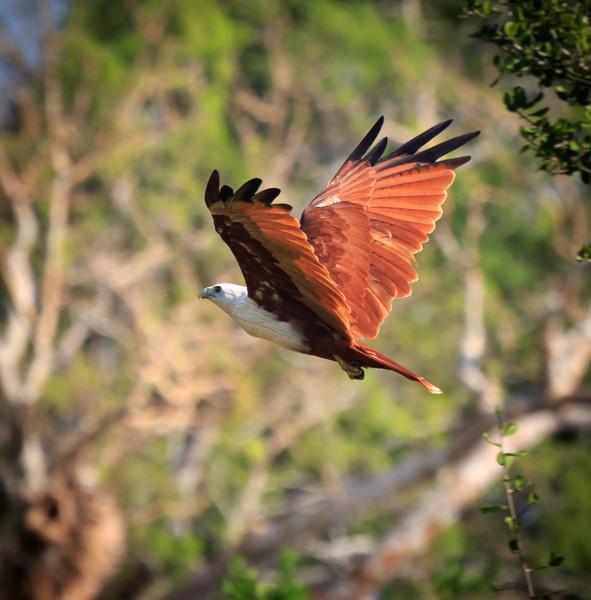 Brahminy Kite in flight, Yala