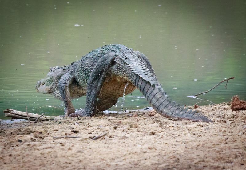 Crocodile returns to water, Yala