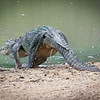 Crocodile returns to water, Yala