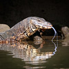 Water Monitor, Wacwella River