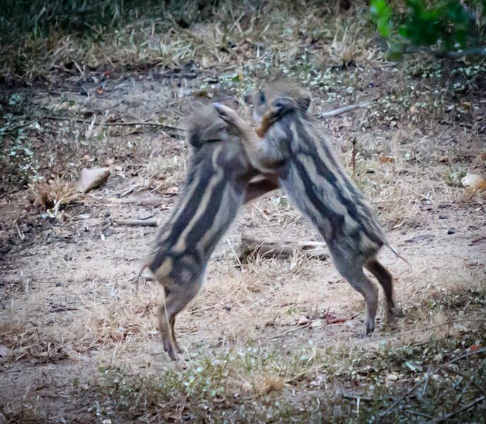 Wild Piglets playing, Yaala