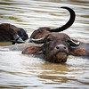Water Buffalo, Yala