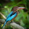 White-throated Kingfisher, Wacwella River