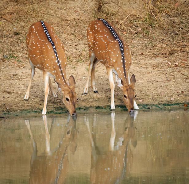 Spotted Deer at Pond, Yala
