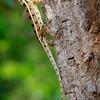 Agamid Lizard, Yala