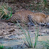 Leopard drinking at pool, Yala NationalPark