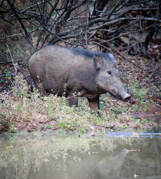 Wild Pig, Yala