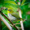 Oriental White Eye, Ulagella