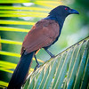 Greater Coucal, Ulagalla