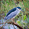 Black-crowned Night Heron, Yala