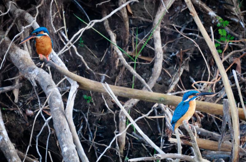 Pair of Common Kingfishers, Minneriya