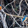 Pair of Common Kingfishers, Minneriya