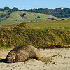 Elephant Seal, Mirounga angustirostris, at sanctuary with Hearst castle in background, Big Sur coast California