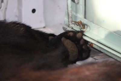 Tranquilized bear inside relocation vehicle.