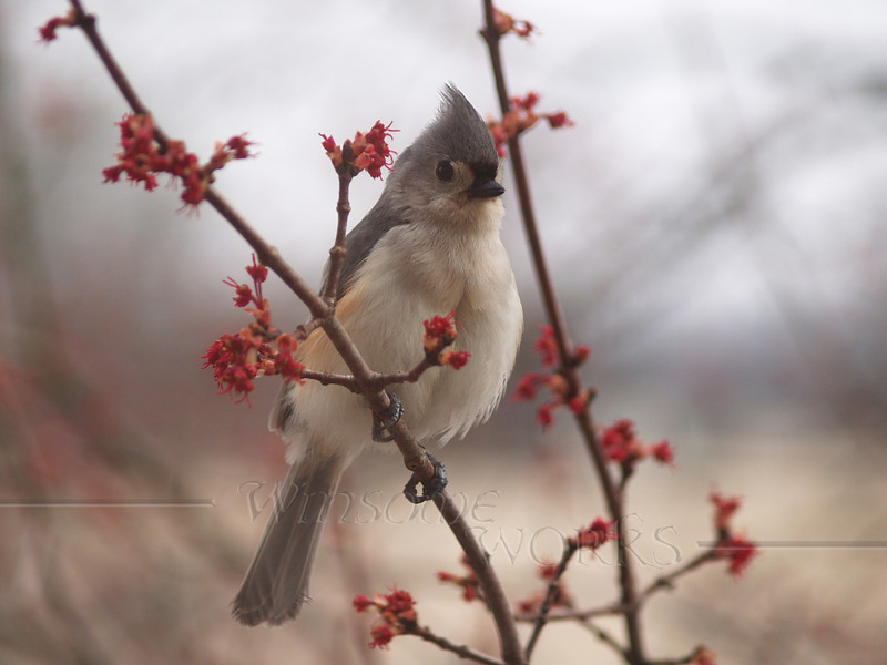 Tufted titmouse (Baeolophus bicolor) as seen in Bucks County, PA  (Crop of Previous)