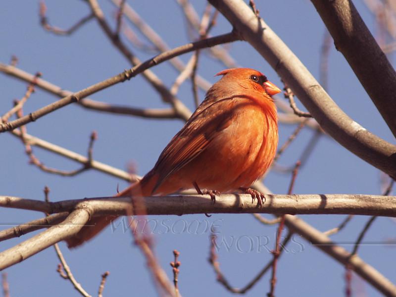 Northern Cardinal (Crop of previous)
