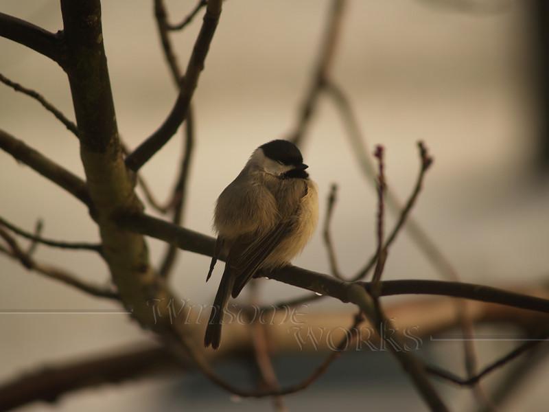 Chickadee on bare branch