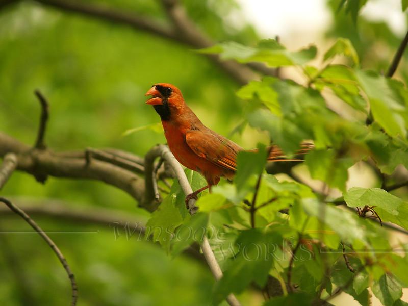 American Cardinal