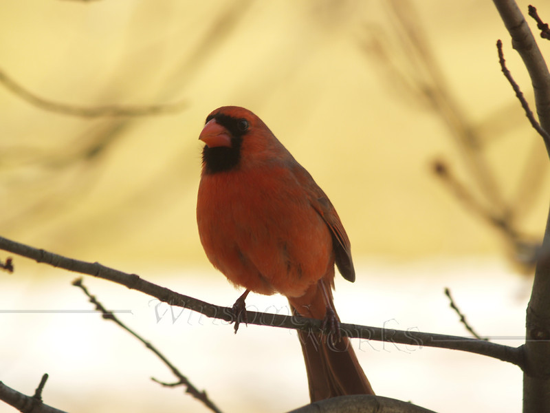 Northern Cardinal on bare branch