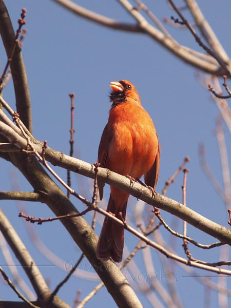 Northern Cardinal (Cardinalis cardinalis) in Buck's county Pennsylvania. Photo shot in early spring.