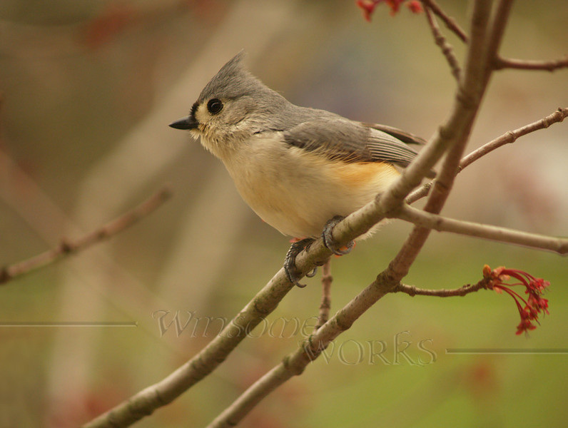 Rob's Tufted titmouse photo-- a maple tree in Hatfield