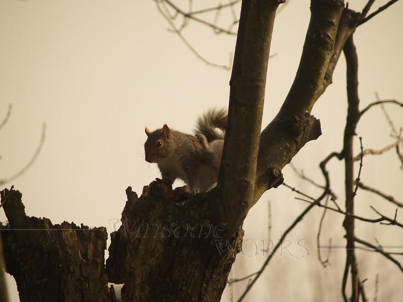 Squirrel on bare tree
