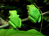 Waxy Monkey Tree Frog Pair, Snubbing the Crowd