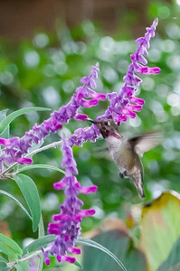 Wildlife.  Hummingbird in flight
