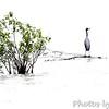 Little Blue Heron<br /> Busch Wildlife CA
