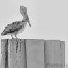Brown Pelican<br /> North Carolina
