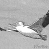 American White Pelican<br /> Riverlands Migratory Bird Sanctuary