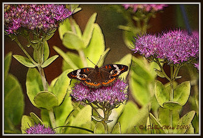 Buckeye butterfly