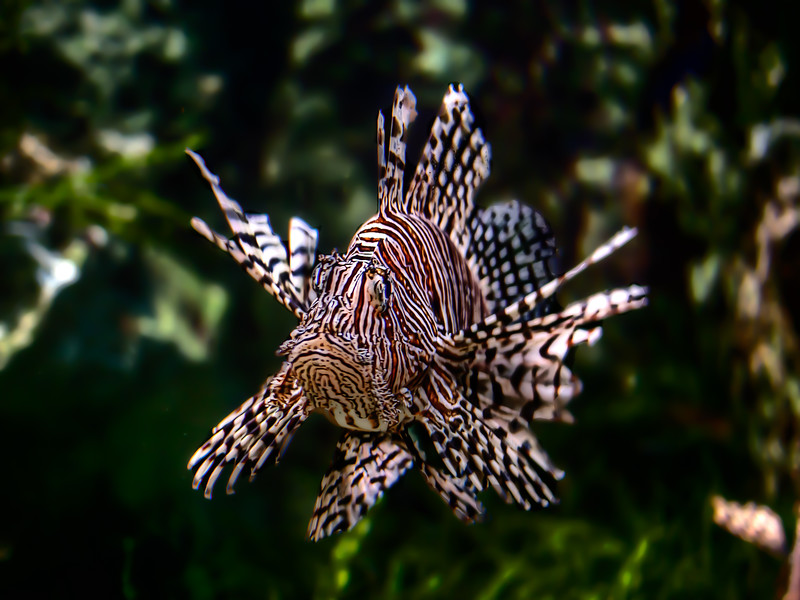 Poisson diable, Aquarium, Saint-Malo, Bretagne, France; © Joerg Muehlbacher