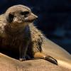 Meerkat, loudicrous meerkats, Bachletten, Basel, Basel-Stadt, Switzerland; © Joerg Muehlbacher
